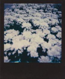 polaroid-fleur.02